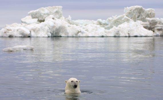 Oso polar en el Mar de Beaufort, Alaska