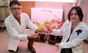 Los investigadores Miodrag Grbic y Cristina Rioja, con unas plantas de vid de cultivo afectadas por la araña roja