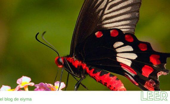 Mariposa negra en Bangalore